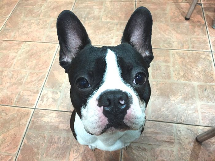 Close-Up Portrait Of French Bulldog On Floor