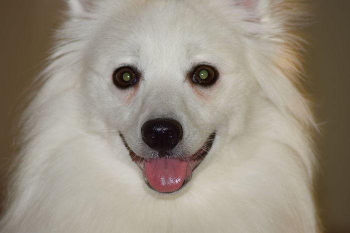 American Eskimo Eskie Mini American Eskimo Ella Tongue Out GayneGirlPhotography Dogs Dogslife Dog Love