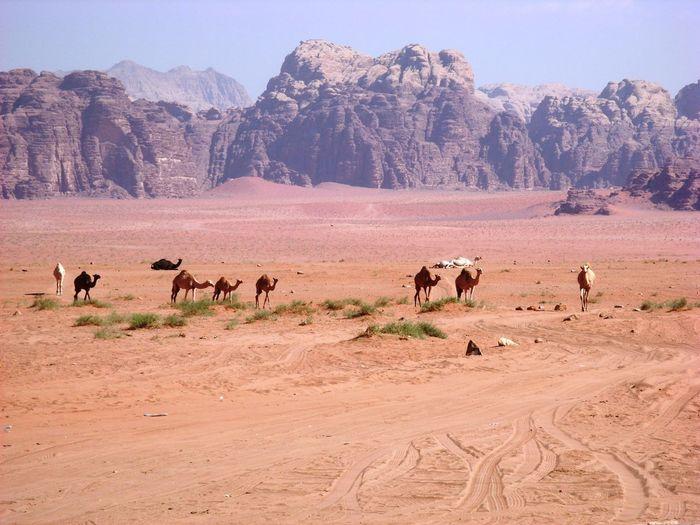 View of camel on landscape