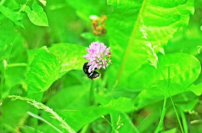Bumblebee Humble-bee Clover Flowers Flower Macro Nature EyeEm Nature Lover Green