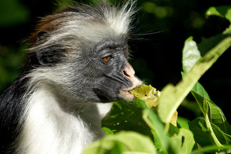 Biodiversity Nature Wildlife Rainforest Unguja Endemic Species Red Colobus Procolobus Kirkii Jozani Forest Monkey Forest Zanzibar Endangered Species