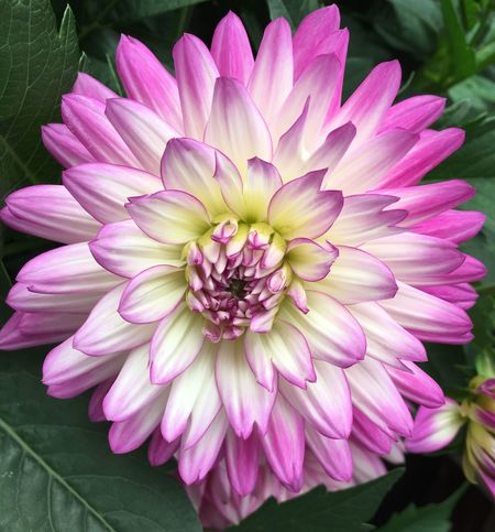 Flower Petal Fragility Flower Head Beauty In Nature Freshness Nature Growth Plant Pink Color Outdoors Dahlia Close-up Blooming No People Day Zinnia