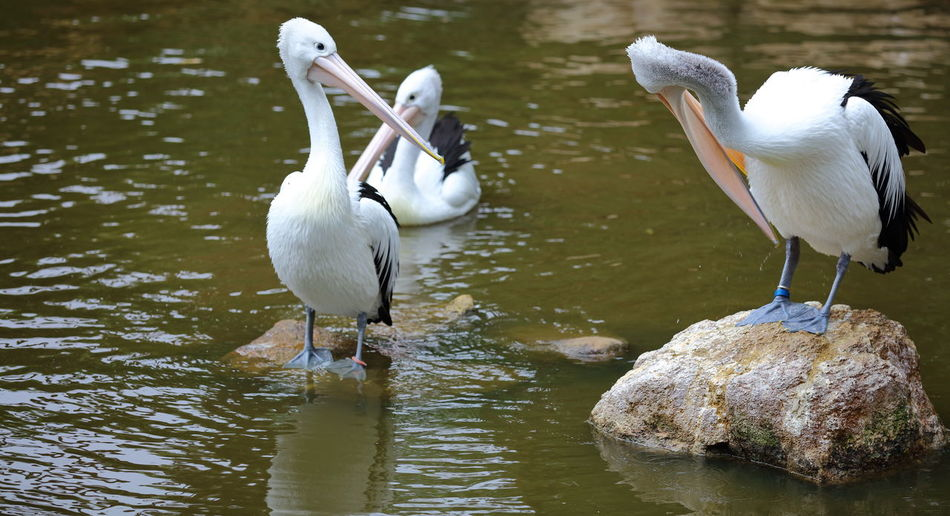 A group of Pelicans that were either soaking up the hot sunlight, or preening their feathers ready for another swim about in the water. Animal Wildlife Bird Bird Bill Close-up EyeEmNewHere Feathers Of A Bird Outdoors Pelicans Perching Water