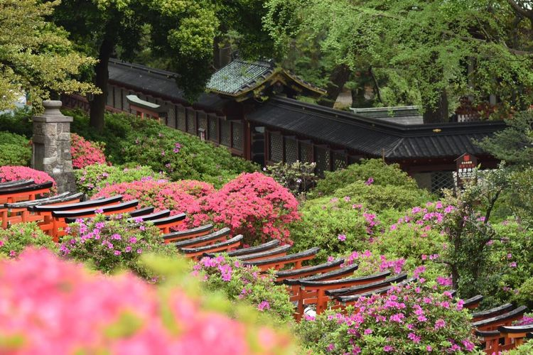 Snapshot Japan Snapshots Snapshots Of Life Spring Flowers Nature Photography Flower Collection Landscape #Nature #photography Nezu Shrine Azaleas Azaleaflower Tokyo,Japan