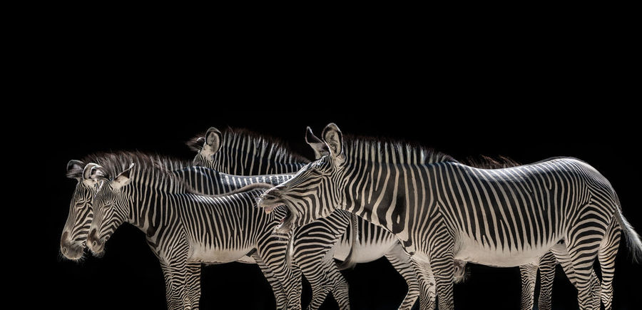 Zebra herd on black background Animals In The Wild Animal Animal Family Animal Photography Animal Themes Animal Wildlife Animal_collection Animals In The Wild Black Background Black Color Copy Space Group Of Animals Herbivorous Herd Indoors  Mammal Nature No People Standing Striped Studio Shot Two Animals Vertebrate White Color Zebra