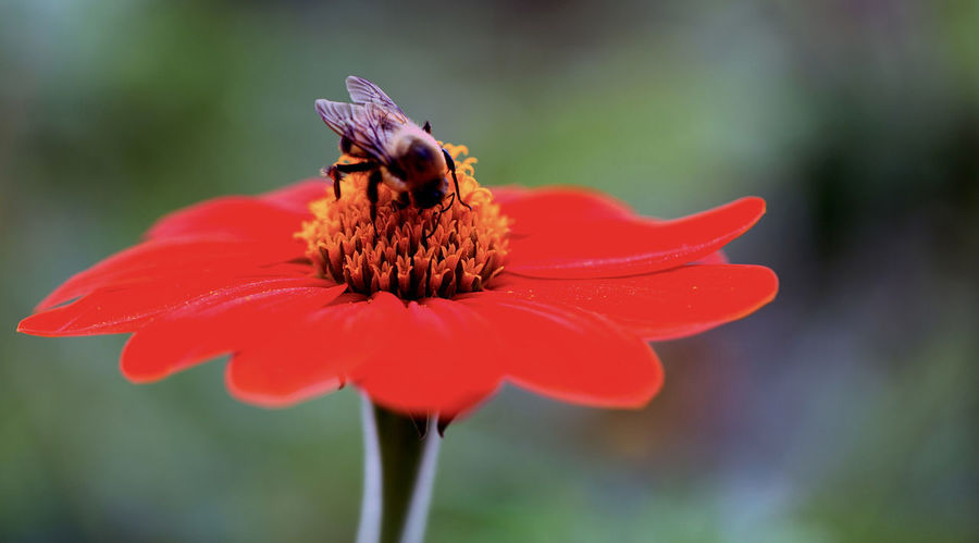 Bee Animal Themes Animals In The Wild Beauty In Nature Bee Close-up Flower Flower Head Focus On Foreground Fragility Freshness Insect Nature One Animal Outdoors Petal Plant Pollen Pollination Red