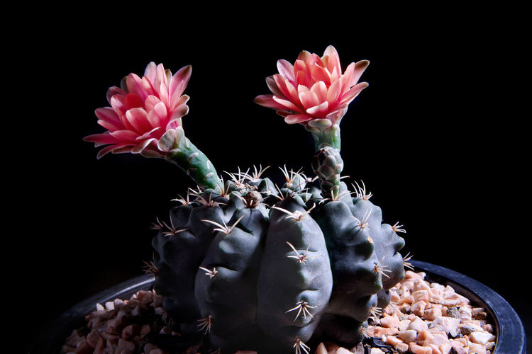 Close-up of pink succulent plant against black background