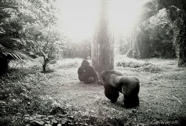Greetings. Gorillas Monochrome Black & White