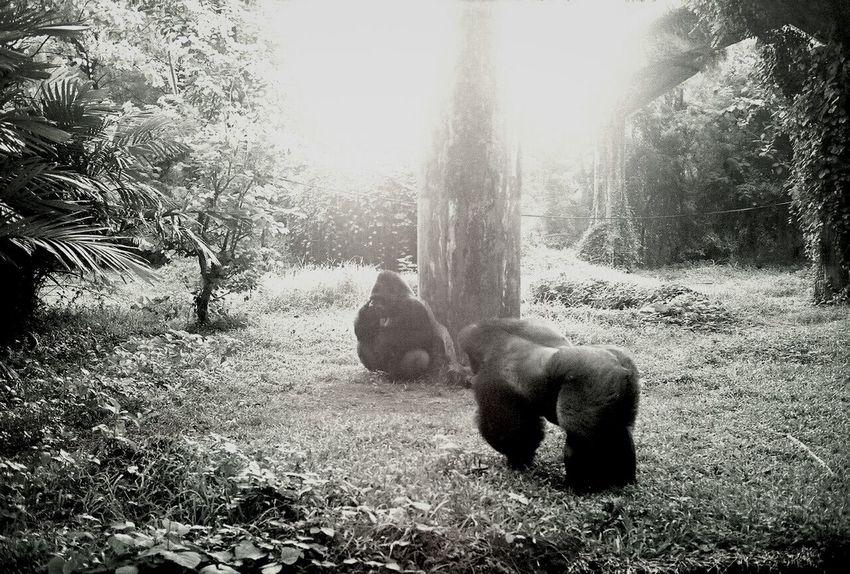 Greetings. Gorillas Monochrome Black & White