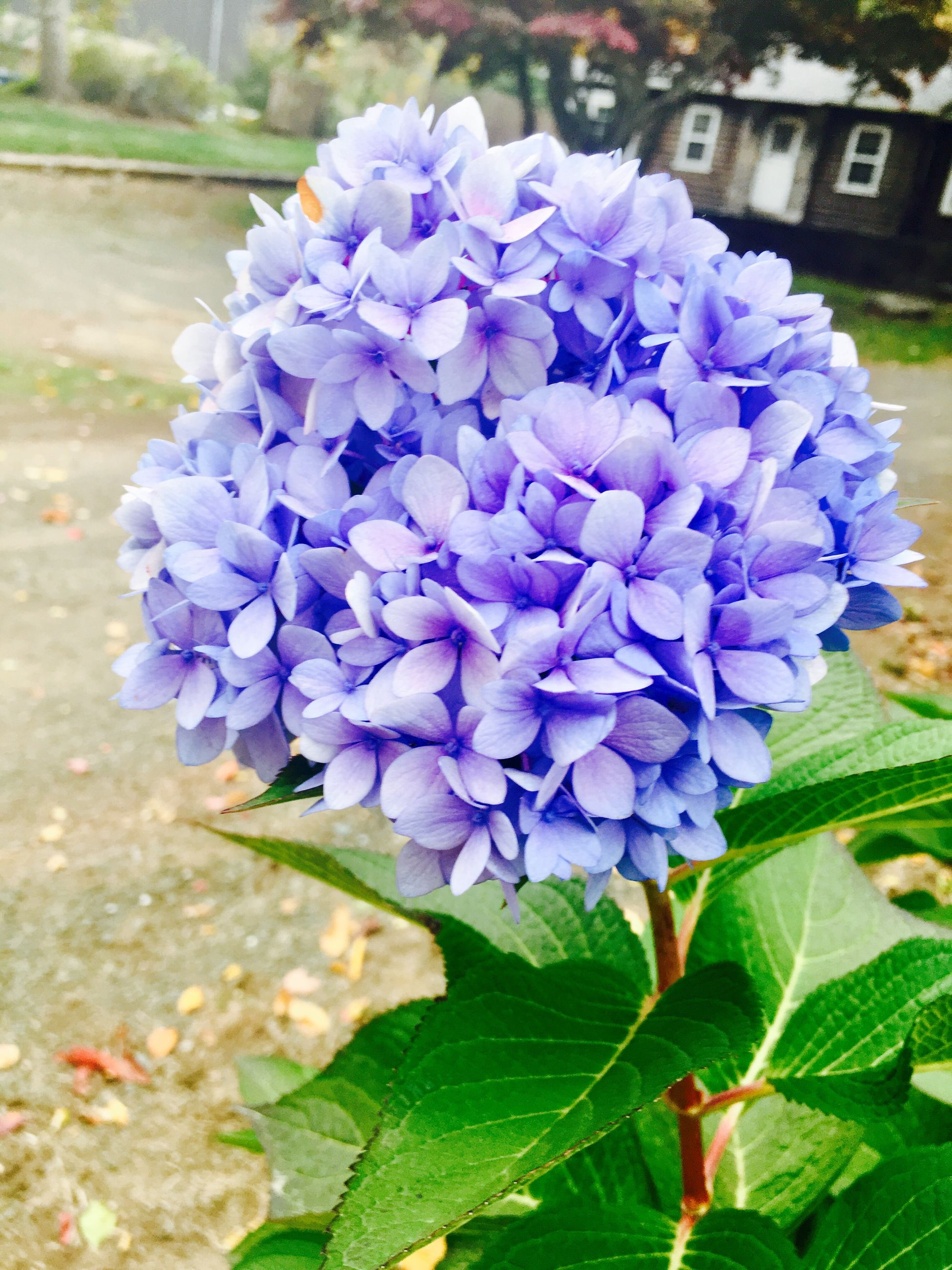 flower, freshness, purple, fragility, close-up, petal, springtime, building exterior, beauty in nature, blue, growth, in bloom, nature, day, blossom, outdoors, bunch of flowers, focus on foreground, flower head, no people, botany, growing