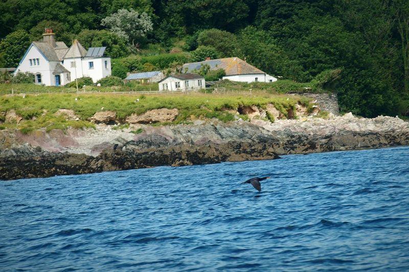 Looe Cornwall Island Coast Bird Cormorant  Flying Sea Trees Rocks