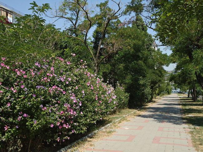 Bushes Footpath Novorossiysk Pavement Shrubs Sidewalk Street Summer Sunny Day Tranquil Days Tranquil Live Trees Vegetation Verdure Walkpath