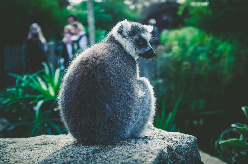 Lemur sitting on rock against plants