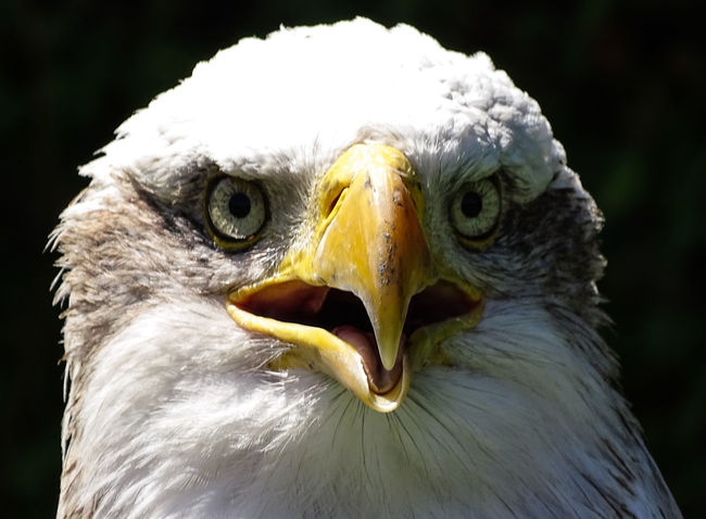 American Eagle Bald Eagle Bald Eagle Portrait Animal Head  Animal Themes Animal Wildlife Animals In The Wild Bald Eagle Close-up Beak Beauty In Nature Bird Bird Of Prey Close-up Day Focus On Foreground Nature No People One Animal Outdoors White Color