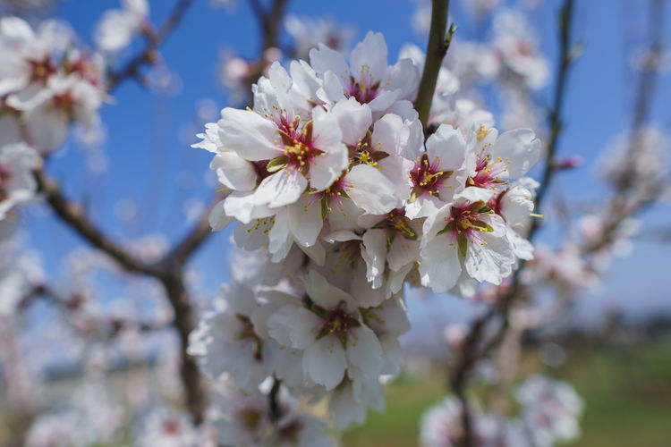 Flowering Plant Flower Plant Fragility Freshness Vulnerability  Growth Blossom Beauty In Nature Tree Springtime Close-up Branch Cherry Blossom Petal Day Nature Fruit Tree Inflorescence Focus On Foreground Flower Head No People Pollen Cherry Tree Outdoors