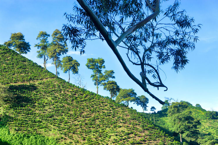 Scenic view of coffee crops on hill against sky