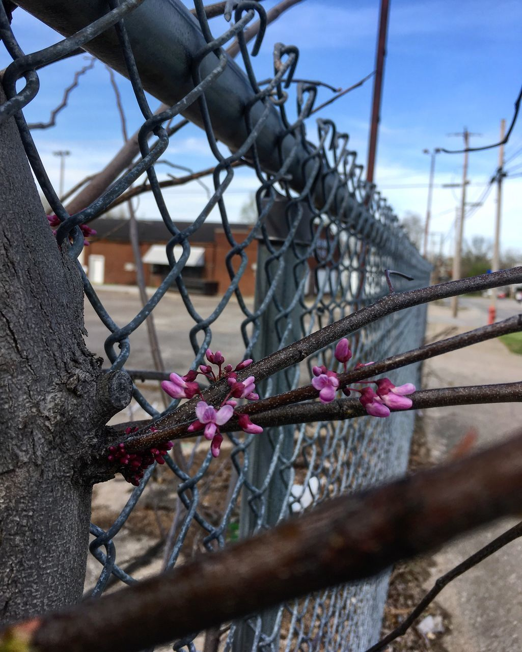 flower, fence, flowering plant, plant, boundary, barrier, nature, day, close-up, no people, focus on foreground, pink color, safety, metal, security, tree, sky, protection, outdoors, chainlink fence, springtime