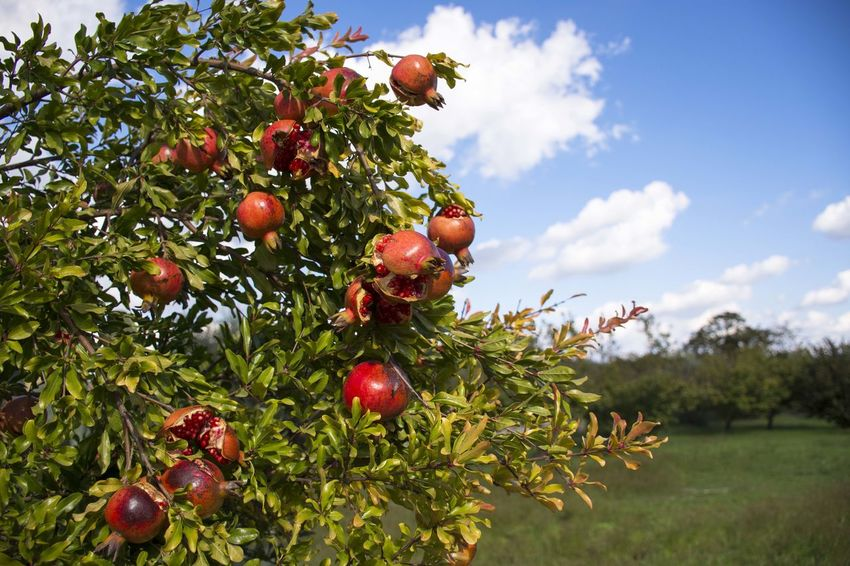 Apple Tree Berry Branch Cherry Tree Close-up Cloud Cloud - Sky Day Food Food And Drink Freshness Fruit Fruit Tree Green Color Growing Growth Hanging Healthy Eating Leaf Nature Orchard Red Ripe Sky Tree