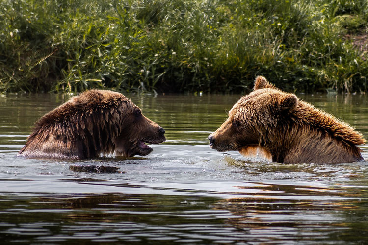 Bears in river