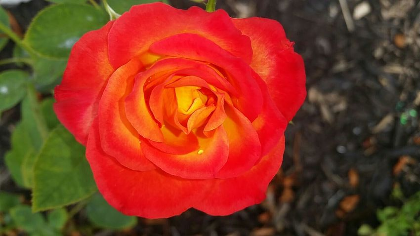 My Best Photo 2015 Roses Are Red Beauty In Nature Close-up The Essence Of Summer Red And Green Colorful Flower Photography Flowers Flowers, Nature And Beauty Nature's Diversities 43 Golden Moments In Bloom Flowers From My Garden