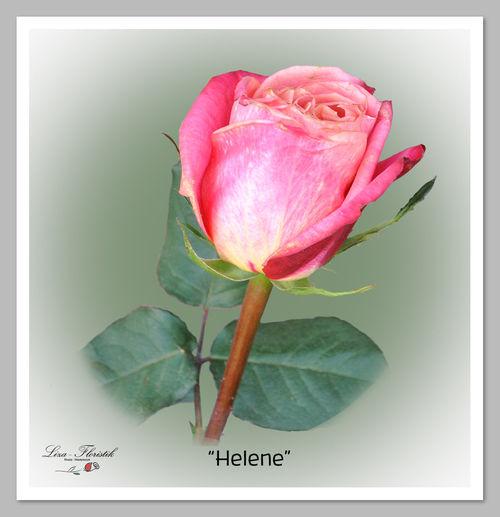Helene ecuador rose Batenhorst Flower