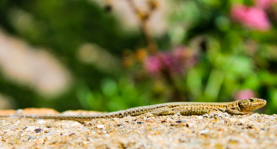 El lagarto Juancho! Lizard Animals Animal Animal Photography Nature
