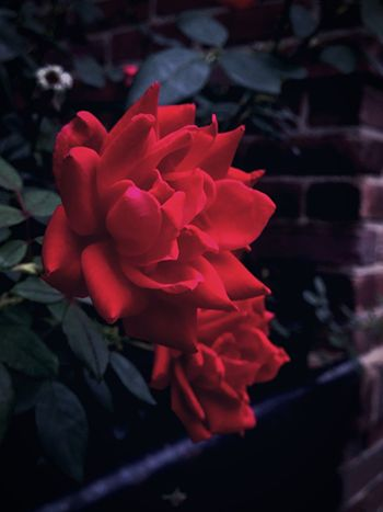 Flower Petal Roses Rose🌹 Rose - Flower Rose Petals Photography Flowers