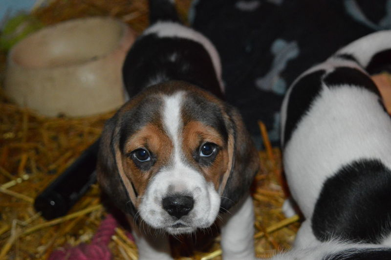 Beagle Beagle Love Beaglelove Beaglepuppy Dogs Dogs Of EyeEm Puppy Puppy Love