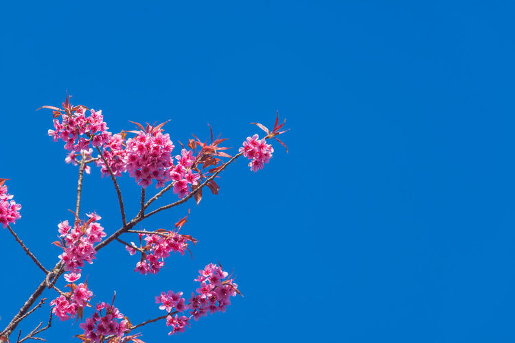 Low angle view of pink cherry blossoms against clear blue sky