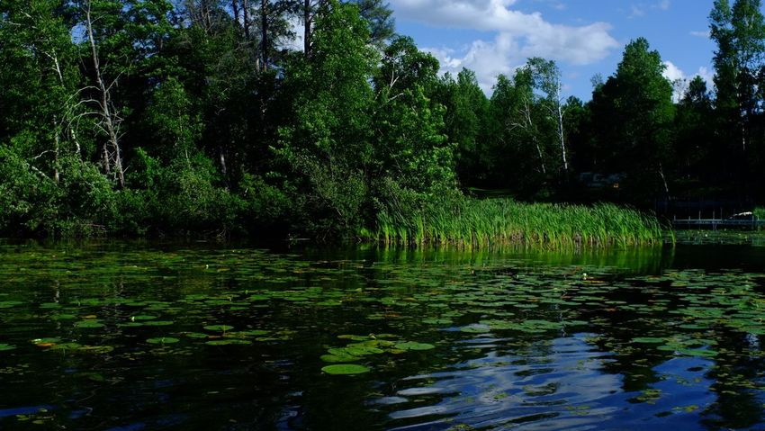 Lake Country Minnesota Beauty In Nature Day Forest Growth Lake Lily Pad Nature No People Outdoors Pequot Lakes Reflection Scenics Sky Tranquility Tree Water
