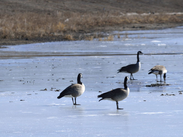 Canada geese perching on frozen lake