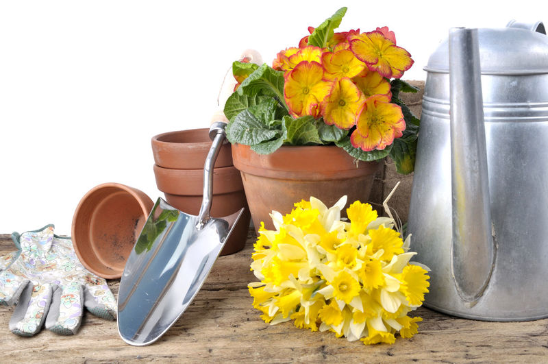 Concept Container Daffodils Flower Flower Pot Flowering Plant Freshness Gardening Growth Nature Petal Plant Potted Plant Spring Still Life Table Tools White Background Yellow
