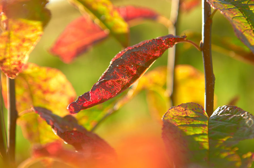 Widdum_2018_08_11253 Abstract Nature Lines Shape Sunlight Autumn Close-up Day Green Color Leaf Leaves Natural Condition Nature No People Outdoors Plant Plant Part Red Red Color Selective Focus Selective Focusing Yellow Color