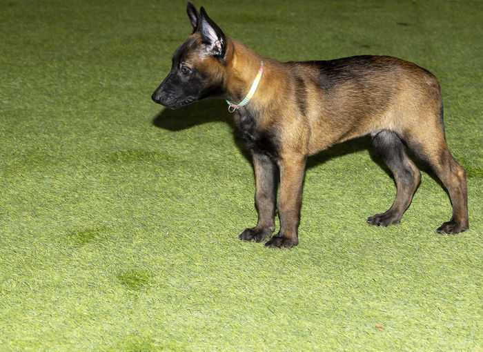 Side view of a dog running on grass