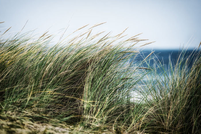 Agriculture Beach Beauty In Nature Cereal Plant Clear Sky Close-up Day Field Grass Green Color Growth Marram Grass Nature No People Outdoors Sky Tranquil Scene Tranquility