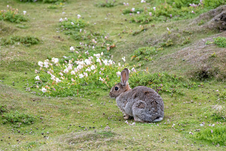 Adorable Alert Animal Background Brown Bunny  Charming Concept Cottontail Cute Ear Easter Eating Scotland Farm Fast Field Flower Fluffy Fur Furry Grass Green Happy Hare Horizontal Lawn Lepus Lovable Mammal Meadow Nature Pet Rabbit Rodent Rural Sitting Small Speed Spring Summer Sweet Symbol White Wild Wildlife Oryctolagus Cuniculus Uk