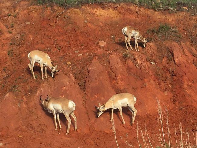 Desert Safari Animals Arid Climate Sand Antelope Giraffe Sand Dune Young Animal