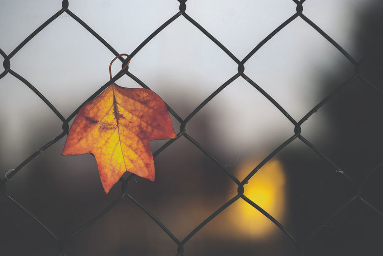 Metal Plant Part Fence Protection Leaf Nature Autumn No People Orange Color Chainlink Fence Security Close-up Change Barrier Safety Day Pattern Outdoors Boundary Focus On Foreground Leaves