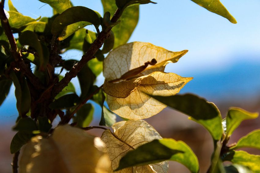 Leaf Nature Day Growth No People Outdoors Tree Sunlight Low Angle View Branch Close-up Plant Sky Beauty In Nature Freshness Autumn Paint The Town Yellow