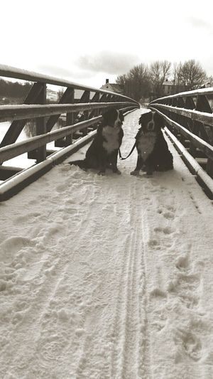 Rissa Norway Snow Snow ❄ Dogs Bernese Mountain Dog Bernersennen Bridge Eyeem Winter