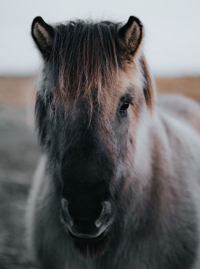 The horses of