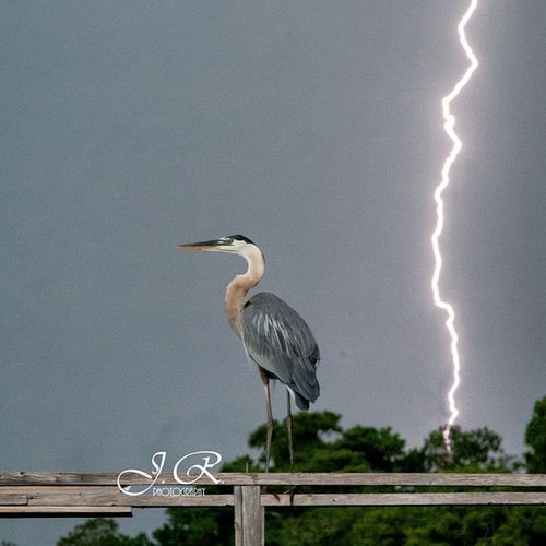 Righplacerighttime Allinthetiming Blueheron Lightning Storms Summerthunderstorms Lightningbolt Southcarolina Mayriver Oldoysterfactory Birdphotography