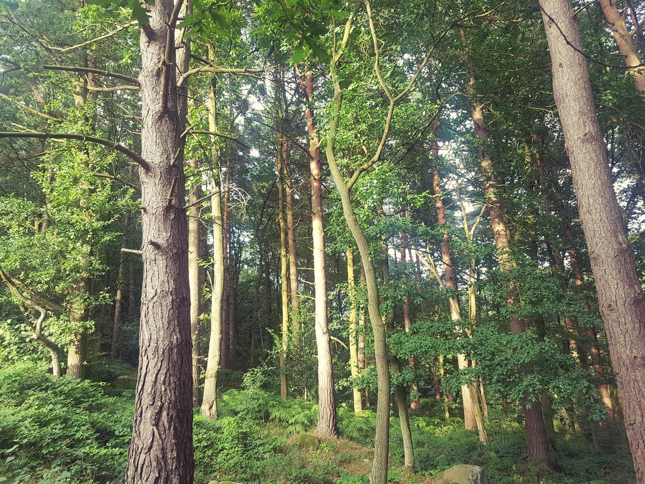 PANORAMIC VIEW OF TREES IN FOREST