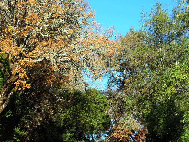 Northern Cali in November Beauty In Nature Blue Sky Change Fall Beauty Green Growing Growth Leaf Lush Foliage Nature No People Northern California Outdoors Plant Tranquil Scene Tranquility Tree