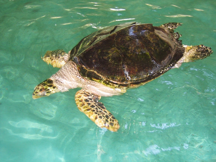 High angle view of turtle swimming in sea