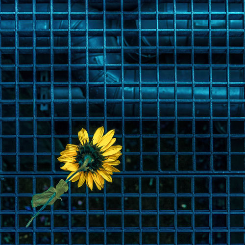 Close-up of yellow flower on metal fence