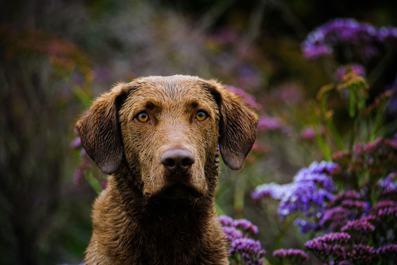 Portrait Of Chesapeake Bay Retriever