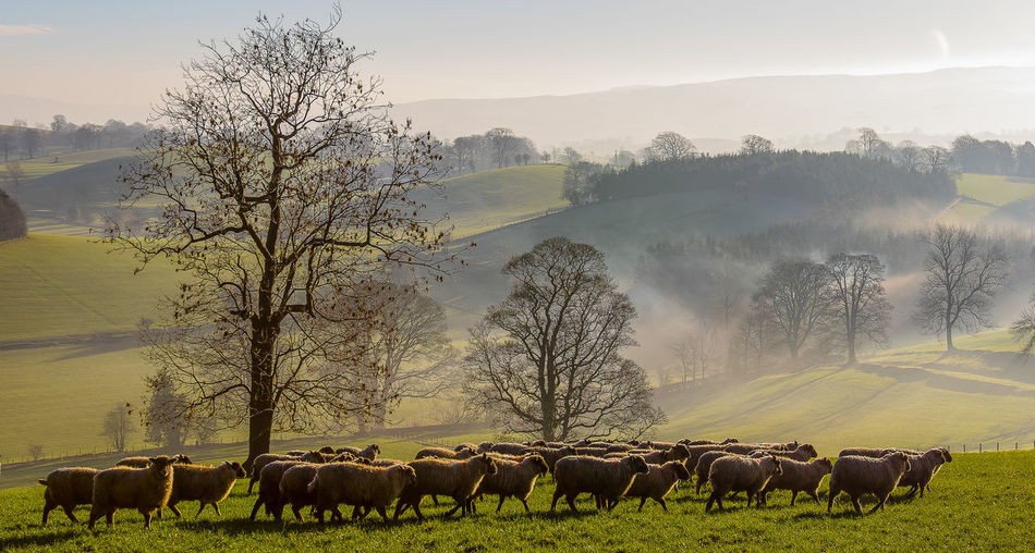Early morning mist in the Craven district of North Yorkshire. Craven Morning Mist North Yorkshire Animal Beauty In Nature Domestic Animals Early Morning Fog Group Of Animals Landscape Livestock Sheep Tree Winter Trees Yorkshire Dales