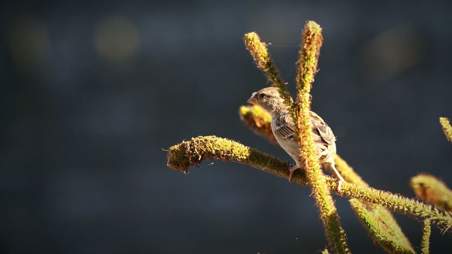 House sparrow perching on twigs