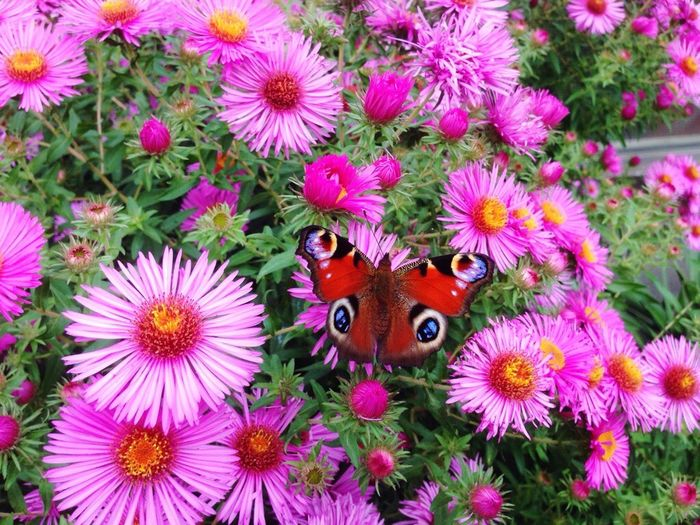 Schräge Farben Flower One Animal Petal High Angle View Insect Fragility Growth Flower Head Animal Themes Beauty In Nature Nature No People Purple Pink Color Plant Day Outdoors Butterfly - Insect Freshness Animals In The Wild Farbenspaß Farbenpracht Farbenfroh Colorful Pink